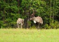 Rentiere in Finnland