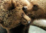 Braunbären beim Spielen